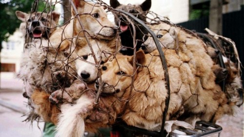 Dogs are stolen from households for Yulin Dog Meat festival..masters helpless?!!