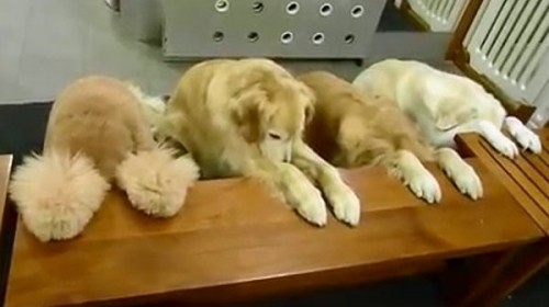 Dogs with etiquette & manners, they pray before eating.