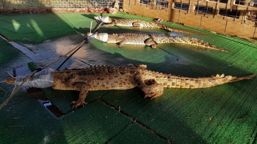 Height of Vandalism – Crocodiles Let Loose In Australian College!